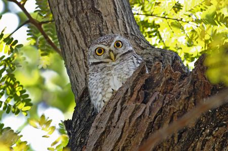 owlet: Spotted owlet Athene brama Birds of Thailand