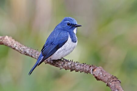 ultramarine: Ultramarine Flycatcher Ficedula superciliaris Male Birds of Thailand