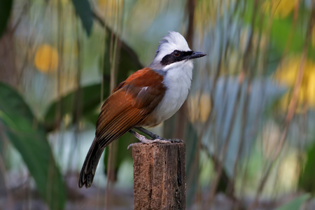 white crested laughingthrush: White-crested Laughingthrush Garrulax leucolophus Birds of Thailand