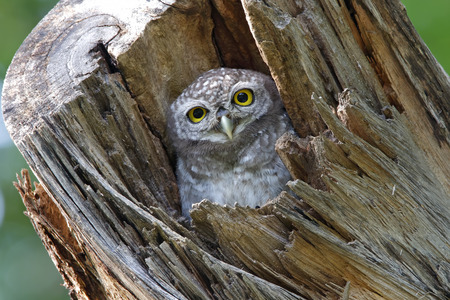 athene: Spotted owlet Athene brama nest in tree hollow