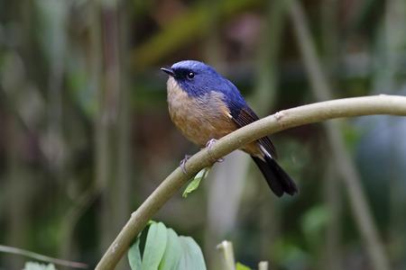 slaty: Slaty-blue Flycatcher Ficedula tricolor Male Birds of Thailand