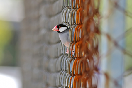 bough: Java sparrow Java finch Lonchura oryzivora Birds of Thailand