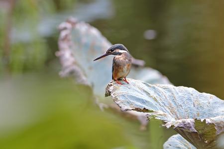 alcedo: Common Kingfisher Alcedo atthis Female on lotus leaf