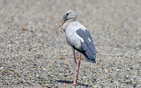 anastomus: Open-billed stork Asian openbill Anastomus oscitans Birds of Thailand Stock Photo