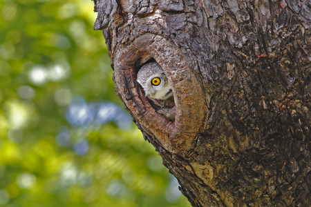 hollow: Spotted owlet Athene brama in tree hollow