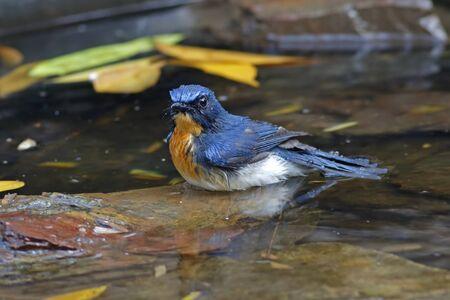 Tickells Blue Flycatcher Cyornis tickelliae Male Birds Shower