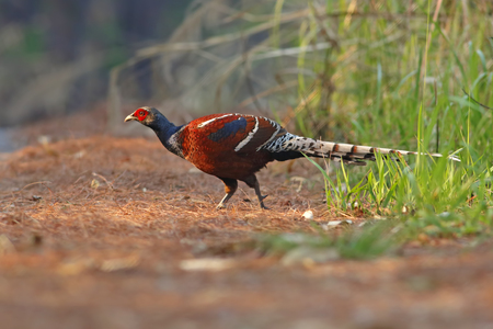 señora: Mrs Humes pheasant Syrmaticus humiae Male at Sunset