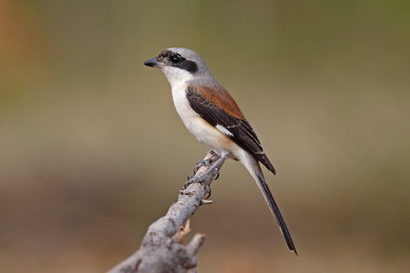 vittatus: Bay-backed Shrike Lanius vittatus Birds of Thailand