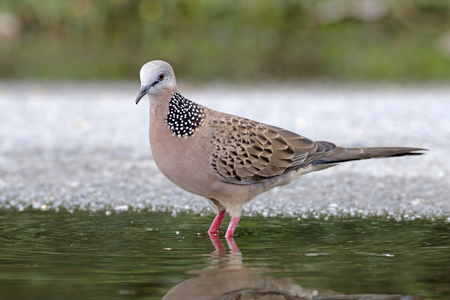 Spotted Dove Spilopelia chinensis Male Cute Birds of Thailand Stock Photo