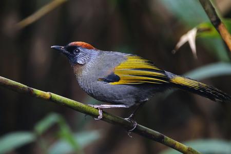 silver eared: Silver-eared Laughingthrush Trochalopteron melanostigma Birds of Thailand