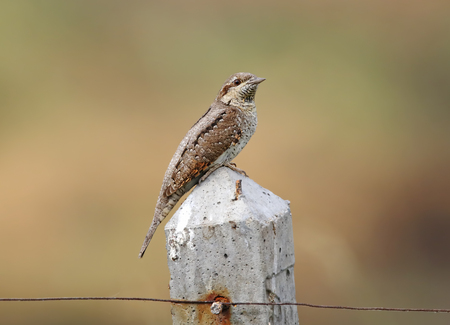 bough: Eurasian wryneck Jynx torquilla Birds of Thailand Stock Photo