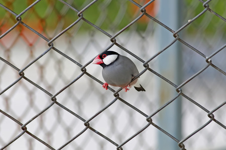 Java sparrow Java finch Lonchura oryzivora Cute Birds of Thailand