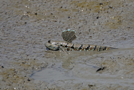 animals amphibious: Mudskipper Amphibious fish Oxudercinae in Thailand