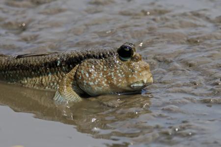 Mudskipper Amphibious fish Oxudercinae in Thailand