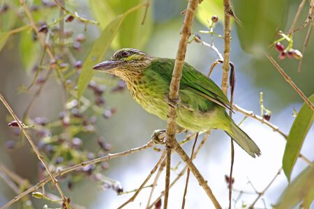 bough: Green-eared Barbet Megalaima faiostricta Birds of Thailand Stock Photo