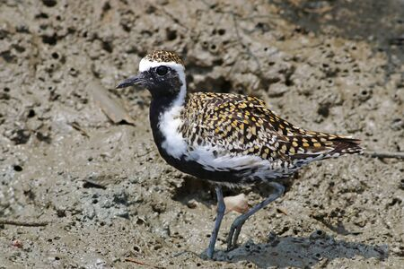 Pacific golden plover Pluvialis fulva breeding plumage