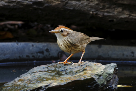 perched: Puff-throated Babbler Pellorneum ruficeps Cute Birds of Thailand