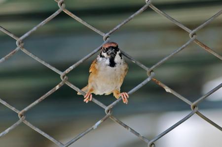 perched: Eurasian Tree Sparrow Passer montanus Birds of Thailand