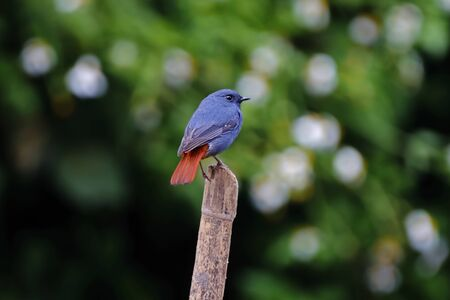 Plumbeous Water Redstart Rhyacornis fuliginosa Male Cute Birds of Thailand