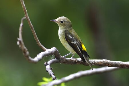 bough: Yellow-rumped Flycatcher Ficedula zanthopygia Female Cute Birds of Thailand Stock Photo