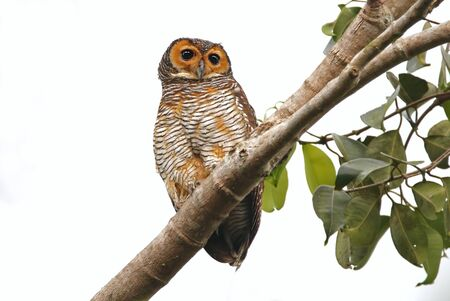 perched: Spotted Wood Owl Strix seloputo Cute Birds of Thailand Stock Photo
