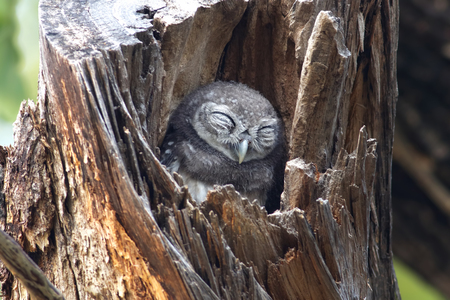 Spotted owlet Athene brama Birds Sleeping in tree hollow Reklamní fotografie