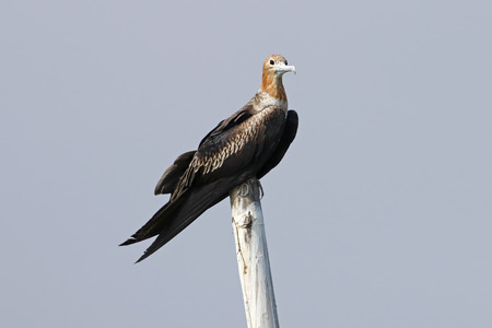 Lesser Frigatebird Fregata ariel Beautiful Birds of Thailand