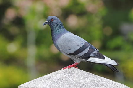 Rock pigeon Columba livia Male Beautiful Birds of Thailand