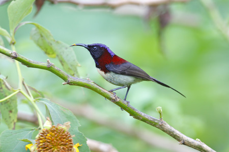 bough: Black-throated Sunbird Aethopyga saturata Male Beautiful Birds of Thailand