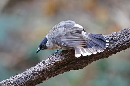 Sooty-headed bulbul Pycnonotus aurigaster Beautiful Birds of Thailand