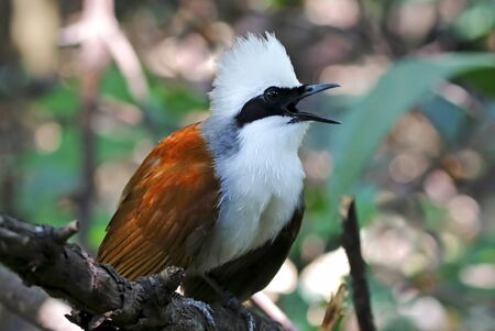 White-crested Laughingthrush Garrulax leucolophus Beautiful Birds of Thailand Stock Photo