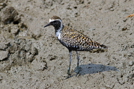 Pacific golden plover Pluvialis fulva Beautiful Birds of Thailand