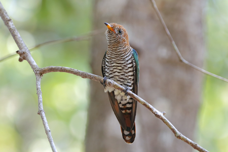 Asian Emerald Cuckoo Chrysococcyx maculatus Beautiful Female Birds of Thailand Stock Photo