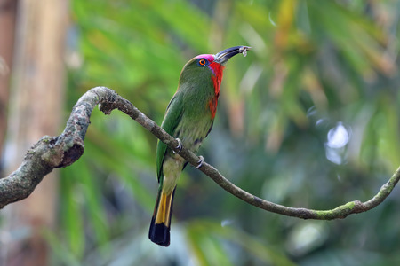 Red-bearded Bee-eater Nyctyornis amictus Birds eating insect