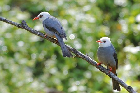 White-headed Bulbul Hypsipetes thompsoni Beautiful Birds of Thailand