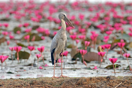 Asian openbill Anastomus oscitans Birds in water lily pond