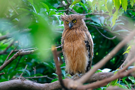 Buffy Fish-owl Ketupa ketupu Beautiful Birds of Thailand