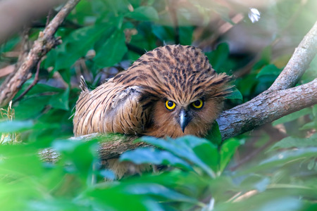 Buffy Fish-owl Ketupa ketupu Beautiful Birds Stare