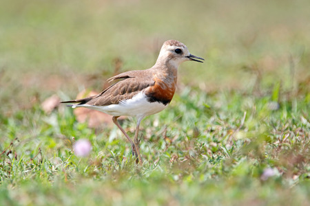 Oriental Plover Charadrius veredus Beautiful Birds of Thailand