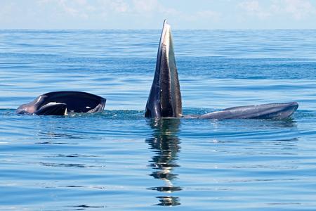 Bryde's Whale Balaenoptera edeni two big fishes in the sea