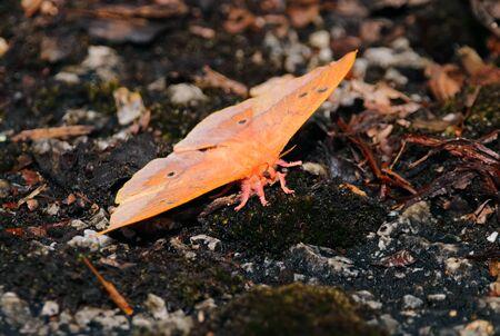 Beautiful Orange Moth on the ground
