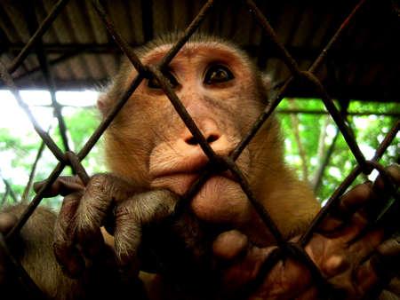 caged monkey