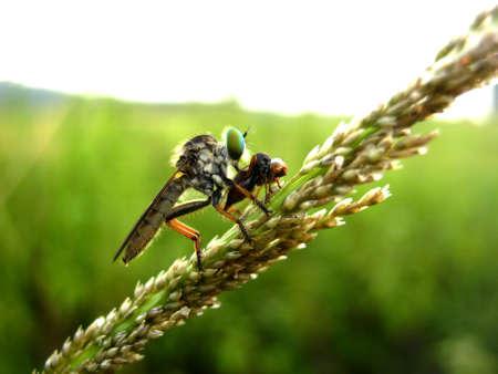 asilidae: Robber fly hunting closeup