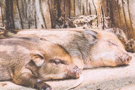 ファーム内の小豚
