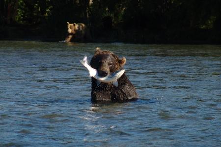 kuril: The bear caught the fish