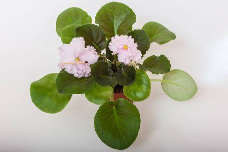 Saintpaulia varieties Holy naivete S. Farbitnik with beautiful light pink flowers