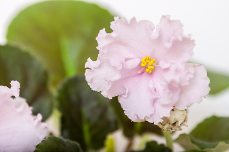 Saintpaulia varieties Holy naivete S. Farbitnik with beautiful light pink flowers. Close-up