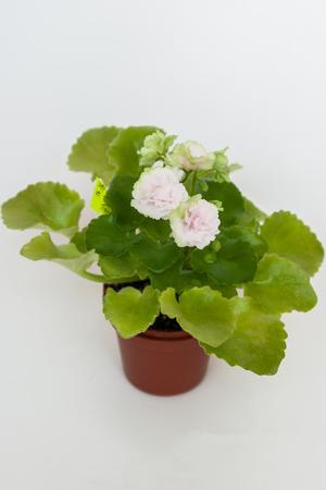 Saintpaulia varieties Sassy Sister Sport S.Sorano with beautiful pale pink flowers