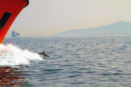 A shot of a dolphin having fun surfing on wave made from oil tanker
