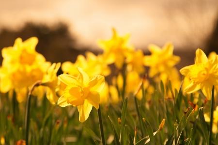 bluer: A shot of Pretty Daffodils in Spring